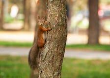 wild djur Den röda ekorren i höst parkerar Royaltyfri Foto