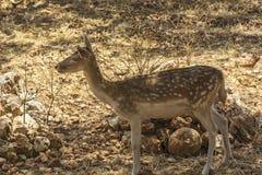 wild djur Kvinnliga prickiga hjortar i dess naturliga livsmiljö Royaltyfri Bild
