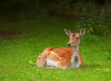 Wild Doe Royalty Free Stock Image