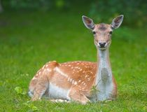 Wild doe (deer) Stock Photography