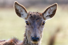 Wild doe head Royalty Free Stock Photo