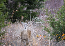 Wild Doe in its Natural Texas Habitat Stock Image