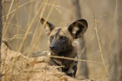 Wild Dog. An endangered Wild Dog peers out from behind a shelter royalty free stock photos