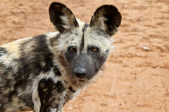 Wild Dog Stock Photo