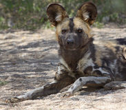 Wild Dog. Wild African Dog Sitting Facing Front Royalty Free Stock Photos