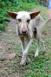 Wild Dog. Feral dog on a rural trail in the Dominican Republic Stock Images