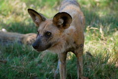 Endangered African Wild Dog in Botswana Stock Photo