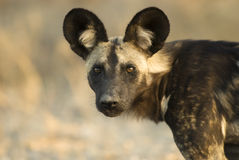 Wild Dog. In South Africa Stock Images