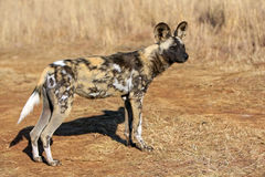 Wild dog. A close up of a african wild dog Stock Images