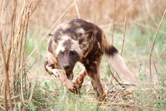 Wild Dog. Image of a wild dog on the lookout Royalty Free Stock Photography
