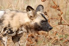 Wild Dog. Image of a wild dog on the lookout Stock Photo
