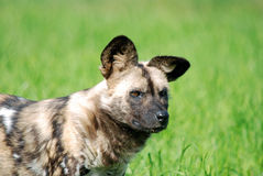Wild dog stock image