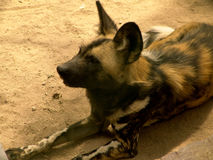 Wild dog. Relax Stock Image