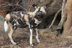 Wild Dog. Standing on guard at zoo Royalty Free Stock Photography