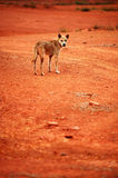 Wild dog. A poor stray dog followed me Royalty Free Stock Photo