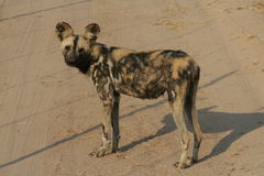 Wild dog Royalty Free Stock Image