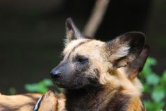 Wild dog. The African wild dog (Lycaon pictus) is a canid native to Sub-Saharan Africa. It is the largest of its family in Africa and the only member of the royalty free stock photo