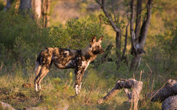 Wild Dog on the alert. Wild Dogs (Lycaon pictus) hunt in packs and are the most efficient hunters of the large carnivores in Africa Stock Photography