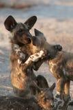 Wild dog Stock Images