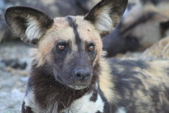 Wild Dog in Botswana. Wild Dog resting in Botswana royalty free stock image