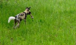 Wild dog Stock Image