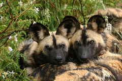 Wild dog brothers. Two wild dogs lying together Royalty Free Stock Photo
