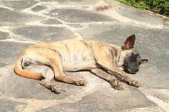 Wild dog Royalty Free Stock Photo