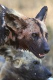 Wild dog covered in blood after feeding Royalty Free Stock Image
