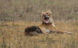 Wild Dog. DHOLE FROM KABINI NAGARHOLE NATIONAL PARK Stock Images