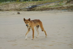 Wild dog Dingo Royalty Free Stock Photography