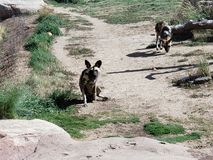 Wild Dog. S at Denver Zoo royalty free stock photos