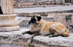 Wild dog in Ephesus. This image was taken in Ephesus, Turkey. An ancient city of Turkey, there are many destroyed statues and ruins there with very attractive Royalty Free Stock Photo