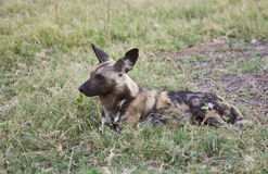 Wild Dog ever alert. Wild Dogs (Lycaon pictus) sleep most of the day and begin to hunt a dusk.  Even when resting, members of the pack remain ever alert for Royalty Free Stock Photo