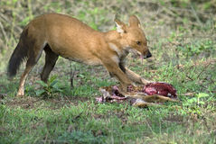 Wild dog feeding on hunted deer. Dhole feeding on hunted deer at Kabani forests- Also known as the Asiatic Wild Dog, Indian Wild Dog and the Red Dog- Cuon stock image