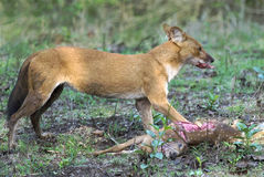 Wild dog feeding on hunted deer. Dhole feeding on hunted deer at Kabani forests- Also known as the Asiatic Wild Dog, Indian Wild Dog and the Red Dog- Cuon stock images