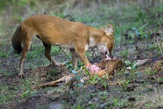 Wild dog feeding on hunted deer. Dhole feeding on hunted deer at Kabani forests- Also known as the Asiatic Wild Dog, Indian Wild Dog and the Red Dog- Cuon stock photo