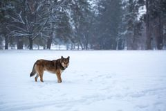 Wild dog in forest Royalty Free Stock Photos
