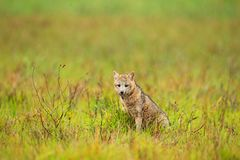 Wild dog in grass. Crab-eating fox, Cerdocyon thous, forest fox, wood fox or Maikong. Wild dog in nature habitat. Face evening por. Trait. Wildlife, Pantanal Stock Images