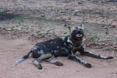 Wild dog grin. A Wild Dog showing off his teeth royalty free stock photography
