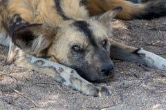 Wild dog having rest. A Wild dog having rest Royalty Free Stock Image