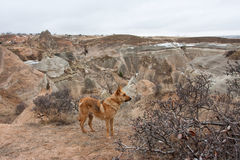 Wild dog on the hill of Cappadocia Stock Image