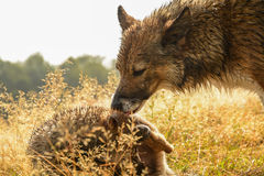 Wild dog and his puppy Stock Images