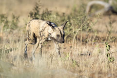 Wild Dog hunting. African Wild Dog hunting in morning light Stock Image