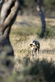 Wild Dog hunting. African Wild Dog hunting in morning light Royalty Free Stock Photography
