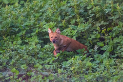 Wild dog leaps forward. Rare and endangered wild dog sighted in karnataka state of India Stock Photography