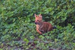 Wild dog leaps Stock Photo