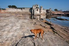 Wild dog looking for food near the water around the palace Royalty Free Stock Photography