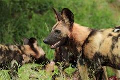 Wild Dog lycaon pictus. Wild dog, group eating kill, side profile, watching Royalty Free Stock Photos
