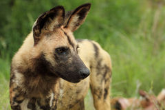 Wild Dog lycaon pictus Stock Photos