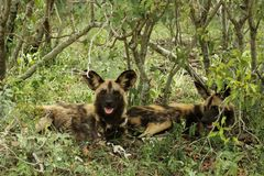 Wild Dog lycaon pictus Stock Images